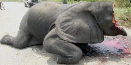 Europe: Stop the elephant slaughter!