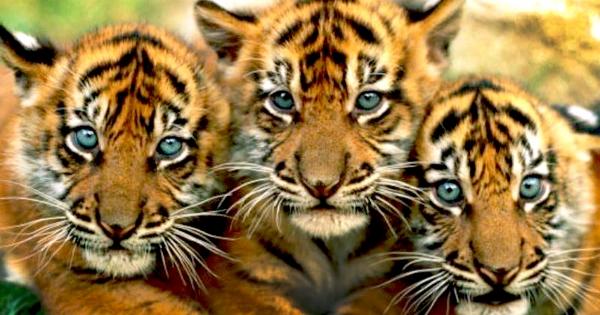 Avaaz Kein Kohlekraftwerk Rettet Die Letzten Tiger