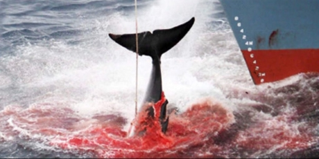 Japan: stop the whale slaughter - hours left!