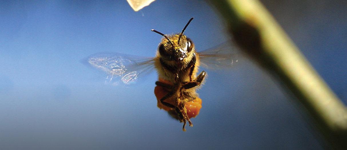 Kanada: Rettet die Bienen