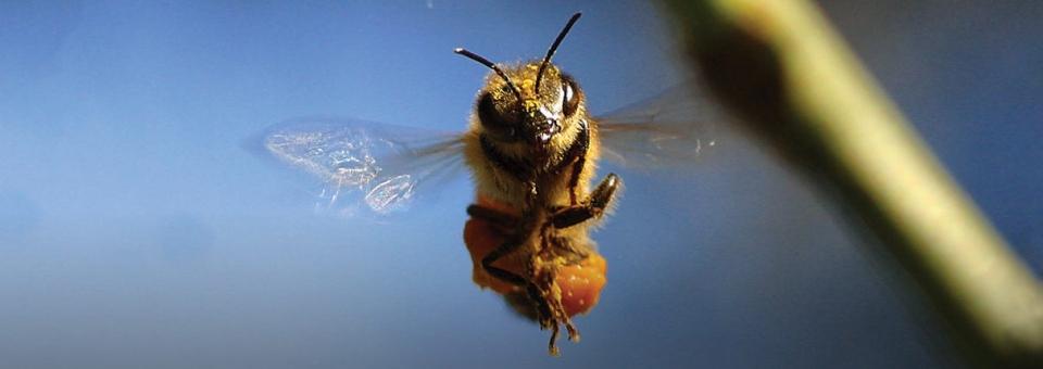 Canada: un refuge pour les abeilles!
