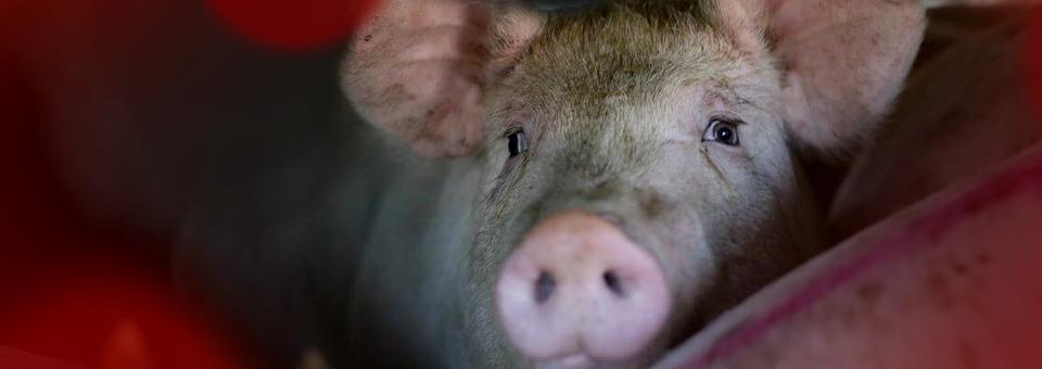 20 mil porcos queimados vivos