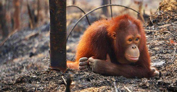 Running on Orangutan blood?!