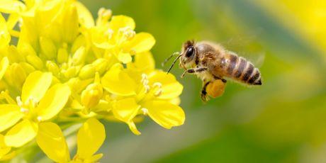 Halte aux dérogations tueuses d'abeilles