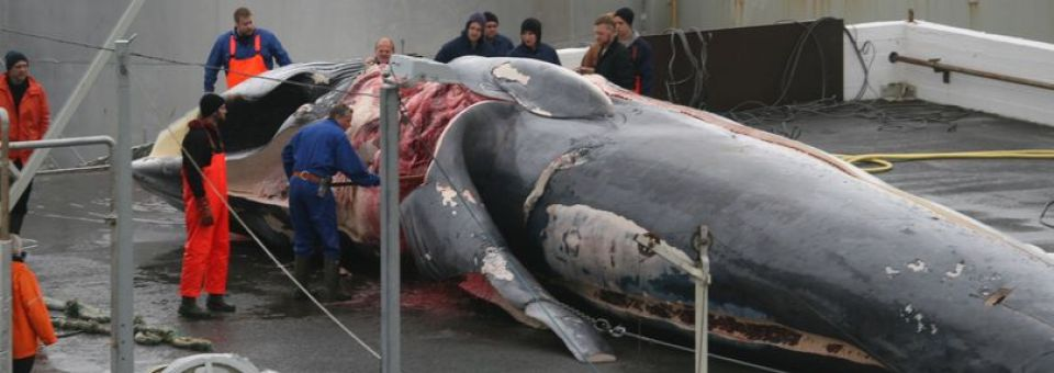 Stoppt den Schlächter der Wale