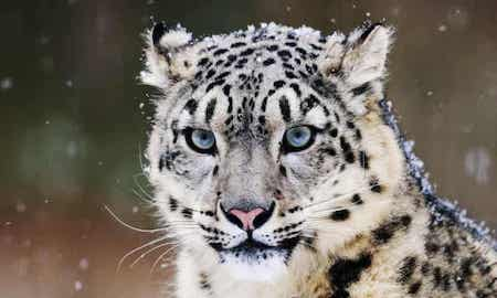 Save this snow leopard paradise