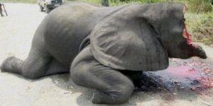 Japon olympique : un appel pour des JO sans ivoire ! 39805_36927_butchered_2_3_300x150