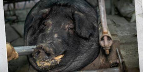 終結神豬重量競賽陋習!