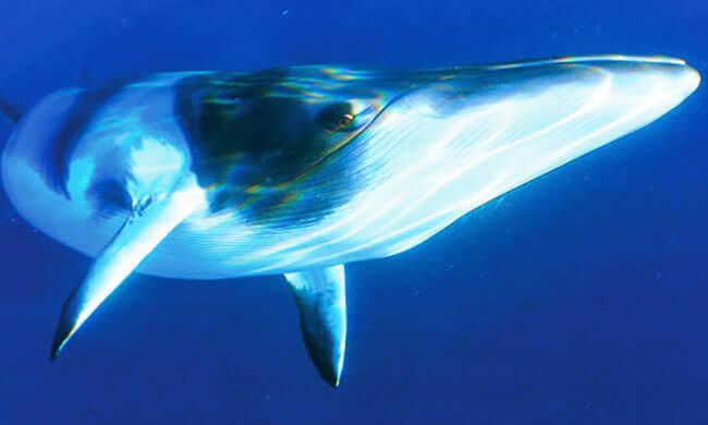 Die Jagd auf Finnwale stoppen